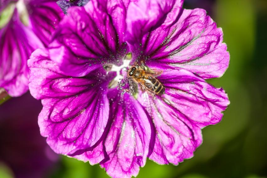 Une abeille butinant sur une fleur de Mauve