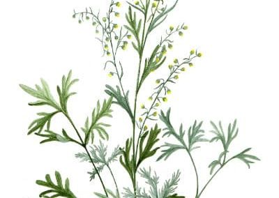 les plantes cultiv es l 39 herbier de la clappe bauges 73. Black Bedroom Furniture Sets. Home Design Ideas