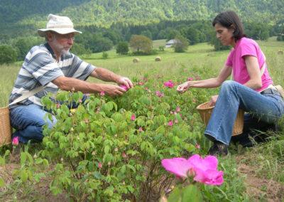 Cueillette Rose de Provins